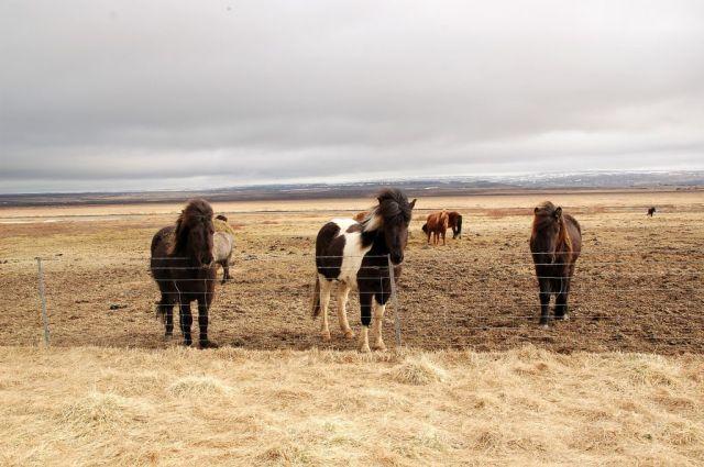 5Islandshästar