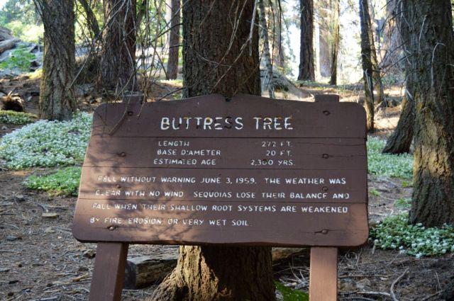 8Buttress Tree 1
